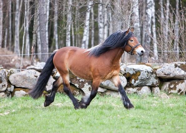 Hur ser du på Föreningen Nordsvenska Hästen?